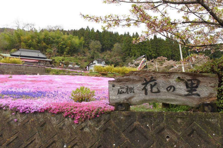 広棚芝桜2