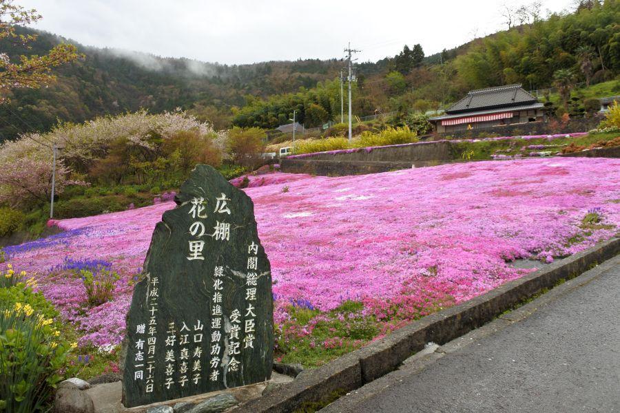 広棚芝桜3