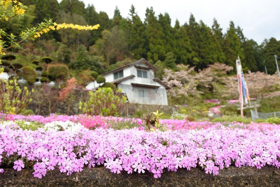 広棚芝桜4