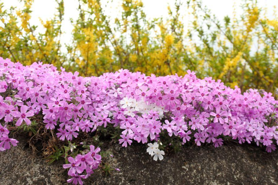 広棚芝桜5